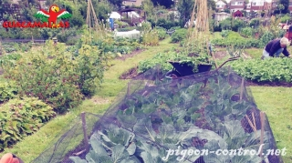Crops  protected with the bird control ner in the garden.