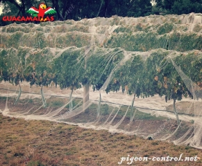 Trees protected with the bird net.
