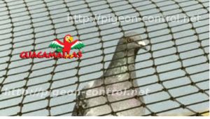 Pigeon and anti-bird mesh